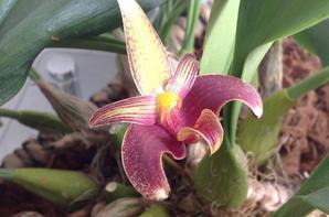 Bulbophyllum  lobbii X sumatranum