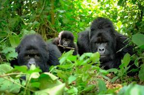 Les grands singes menacés d'extinction