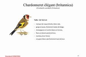 chardonneret elegant