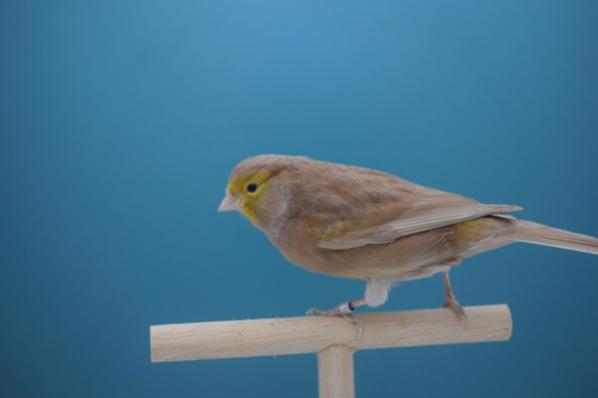 Femelle brun pastel jaune schimmel