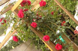 plusieurs roses