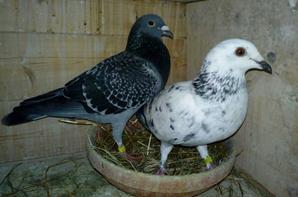 3 nouvelles femelles Seb et 2 femelles Paul