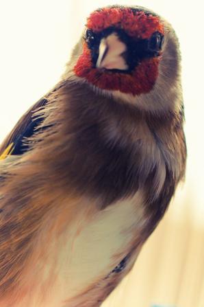 mon vieux !!! il a subie une attaque d'un faucon :/ il a pérdu son oeil  droite !!!!