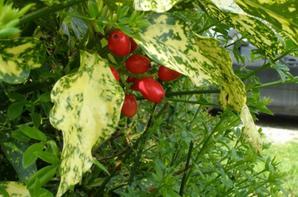 Fleurs et fruits d'Aucuba