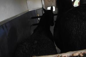 Petit poulain suit sa mère...Dans le van et sous le vent...