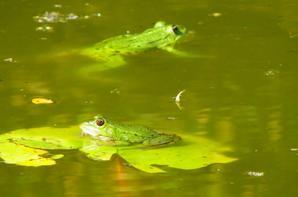 Tofs de grenouilles