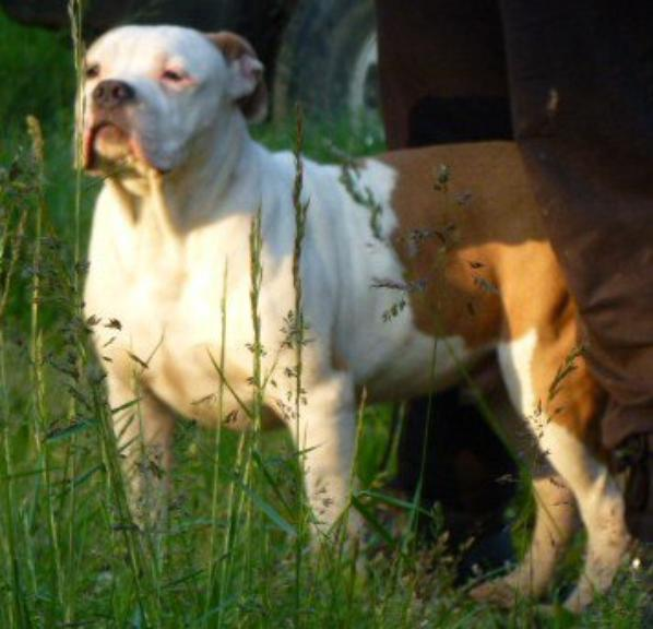 galack american bully xl  5 mois  a vendre