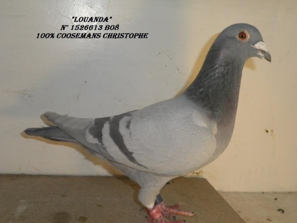 pigeons offert par Chistophe Coosemans