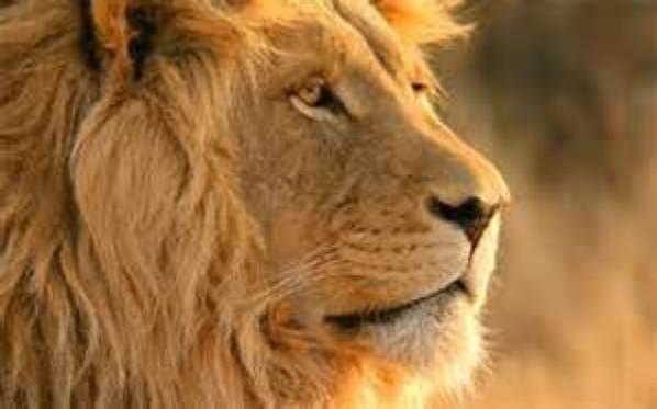 Des lions de toutes les couleurs!! ♥