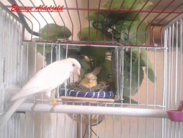 Ma femelle jaune huppée et son mâle blanc