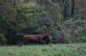 chasse a courre 12-11-2013
