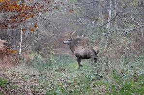 chasse a courre 23-11-2013