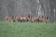 chasse a courre 15-03-2014