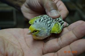 Agate mosaique jaune