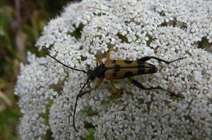 Reptula maculata