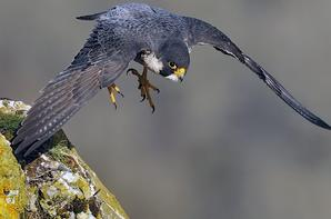 Faucon pélerin