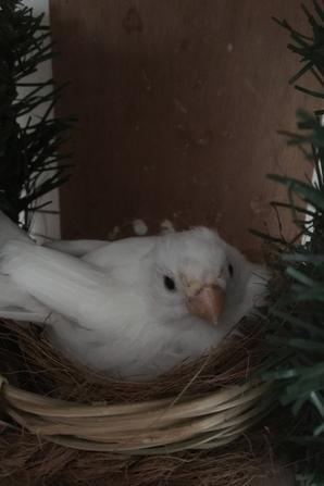 Broedende goudvinken/Bouvreuils sur le nid