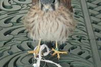 Nouveau venu Aradia faucon crecerelle americain