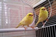 mes canaries