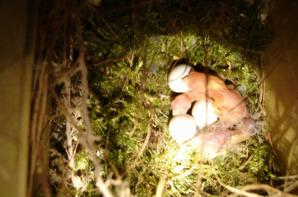 la deuxième nichée de mon couple de bavette : 6 oeufs dont 3 nés