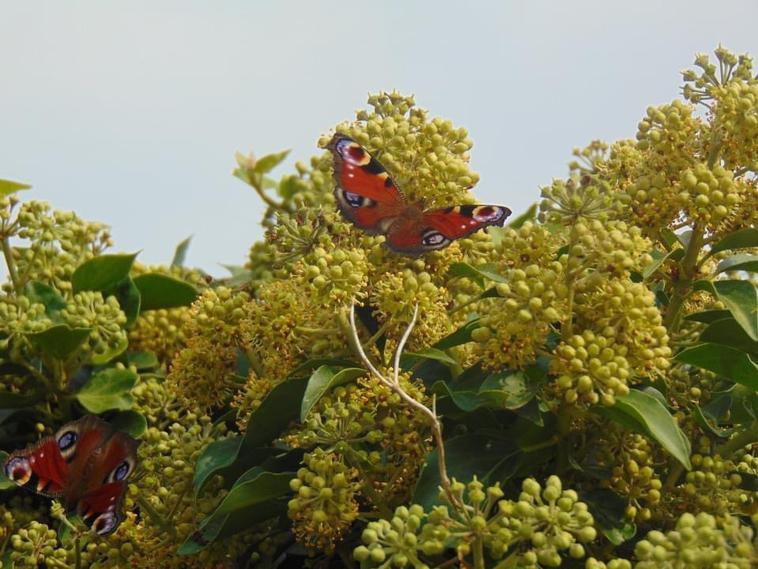 papillons au jardin hier après midi
