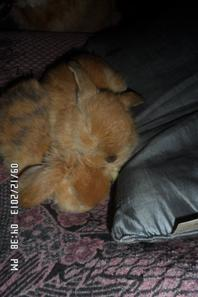 ma portée de lapin reste un male a vendre