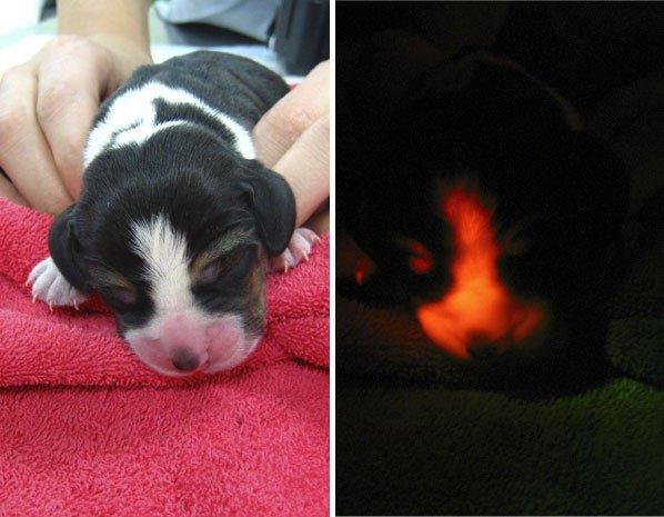 Mise à jour : mardi 30 avril 2013 16:30   Par Thomas Jutant Quand les scientifiques rendent les animaux fluorescents