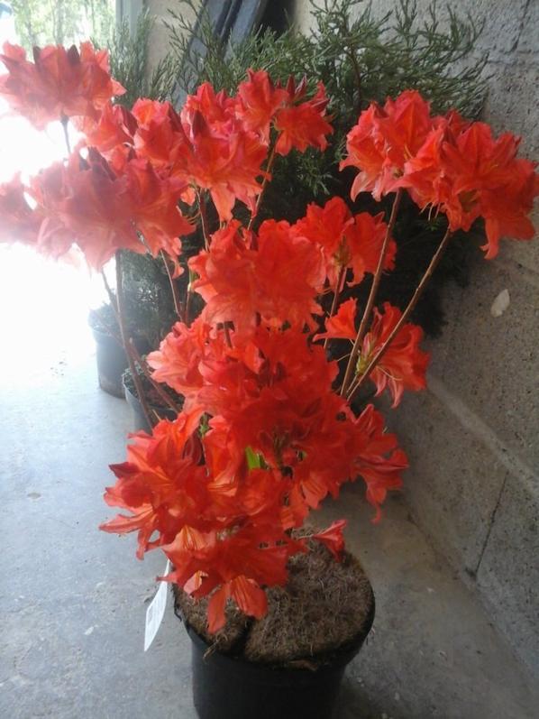 mes achats dhier ,je me suis faite plaisir ,je vais avoir un superbe jardin quand tt sera bien pousser et fleuri