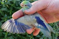 Forpus mutation fallow bleu turquoise