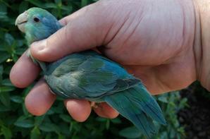 Forpus mutation bleu turquoise (jeune 2016)
