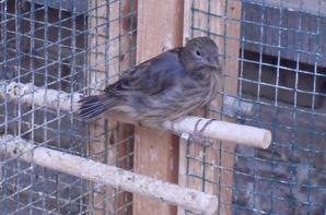 quelques photos de mes canaris; les petits sur les deux premieres photos sont sortis du nid hier
