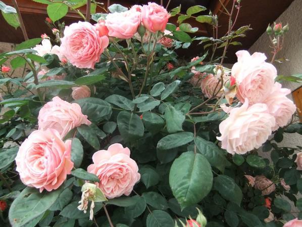 Le rosier de ma terrasse, en pleine floraison!
