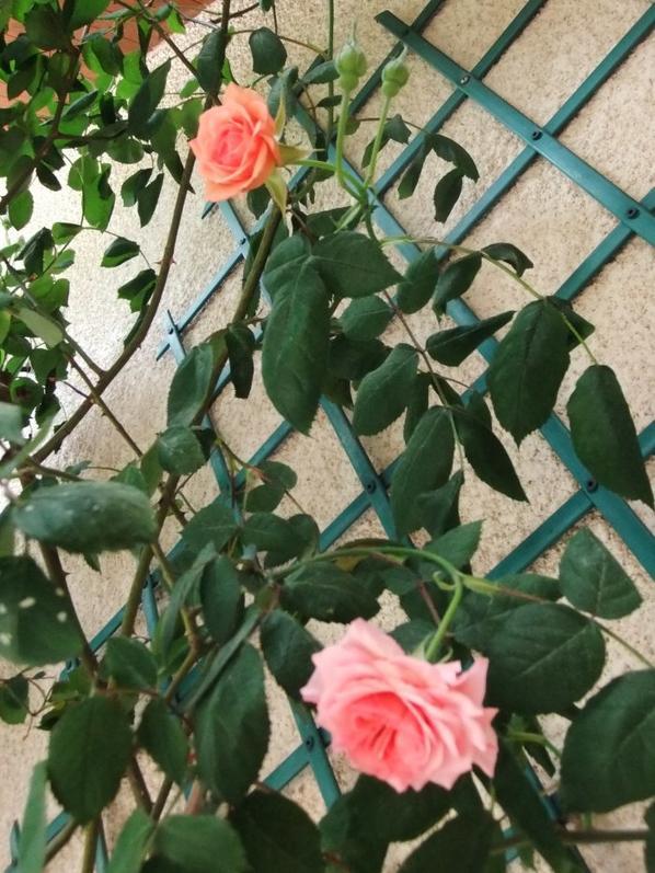 Le rosier de ma terrasse commence à fleurir!