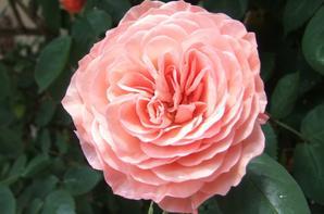Je vous souhaite une bonne fin de semaine avec ces roses de mon jardin!