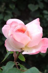 premières roses et autres fleurs!