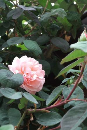 Première rose!