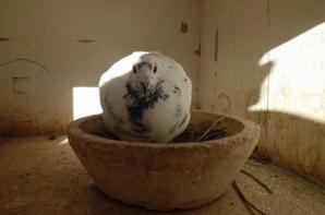 Mes nouveaux pigeons avec origines