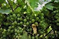 La vigne...