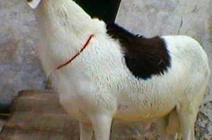 mon mouton