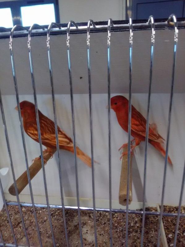 a céder canari phaéo rouge