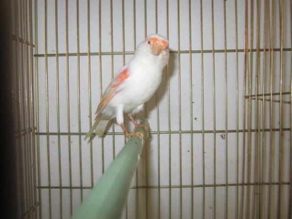 femelle lipo rouge mosaique 2012