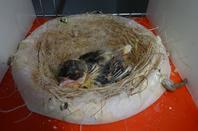 1ére bague et évolution de quelques nids
