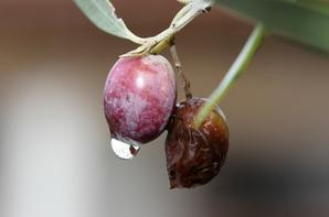 La fin des olives ....pour cette année 2020