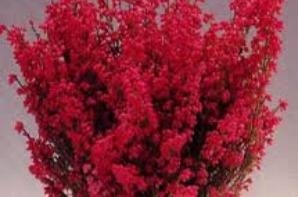 Genre Erica Especes Gracilis Famille Ericacees Nf Bruyere Plantes