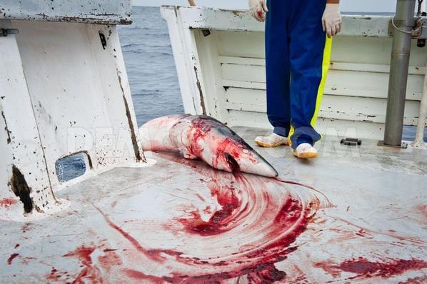 massacre monstrueux de requin tous sa pour une putin de soupe