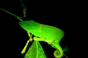 Noctural Chameleon