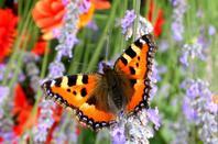 Papillon !!