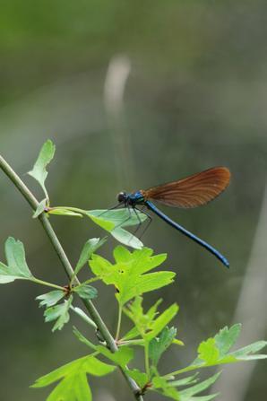 Caloptéryx virgo femelle