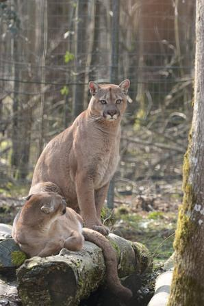 Pumas (2)