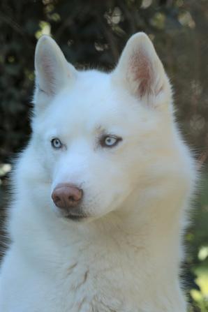 Husky ( 2 )